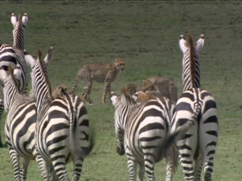 Herd of zebra observe cheetahs feeding on animal carcass.