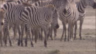 Herd of zebra walk across savanna. Available in HD.