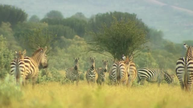 Herd of Zebras in the wild Kenya 4 March 2010