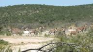Herd of zebras running through savannah