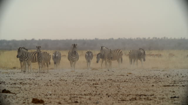 WS Herd of Zebras walking in savannah / Namibia