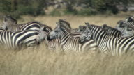CU, PAN, Herd of zebras (Equus burchellii) walking through grass in savanna, Masai Mara, Kenya