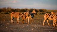 Herd of zebras walking through savannah. Sunset