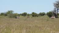 Herd of zebras walking through savannah