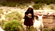 A herder walks past llamas and sheep that roam near a village. Available in HD.