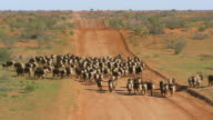 WS Herding cattle by vehicles on dusty road / Tibooburra, New South Wales, Australia