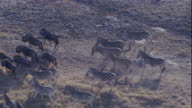 Herds of zebras and wildebeests roam a dusty savanna. Available in HD.