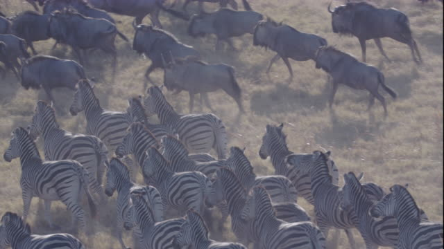 Herds of zebras and wildebeests trot across the savanna. Available in HD.