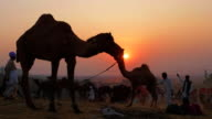 Herdsmen taking account of their camels at the world's largest camel fair in Pushkar, Rajasthan