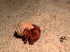 MS, PAN, CU, Hermit crab walking on ocean floor, New Britain Island, Papua New Guinea