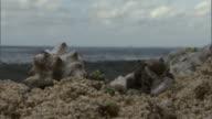 Hermit crabs (Paguroidea) on beach, Pentecost, Vanuatu