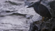 Heron in the Galapagos