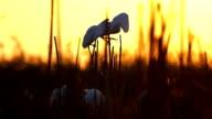 Heron auf Sonnenaufgang