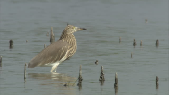 A heron patiently hunts in the Ganges. Available in HD.