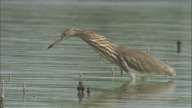 A heron stalks its prey in the Sundarbans. Available in HD.