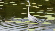 Heron Wading in Water Up To His Belly Looking For Food, With Birds,Frogs and Wetlands Sounds