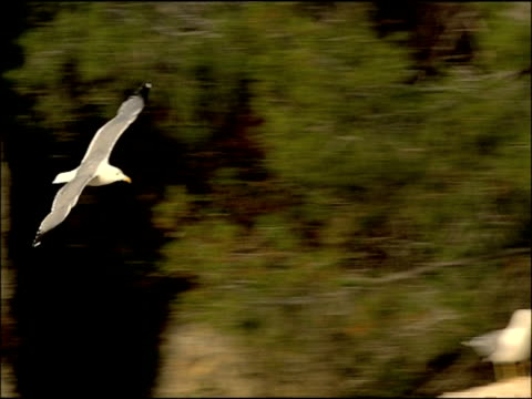 Herring Gull (Larus argentatus) in flight, Granada Province, Andalucia, Spain