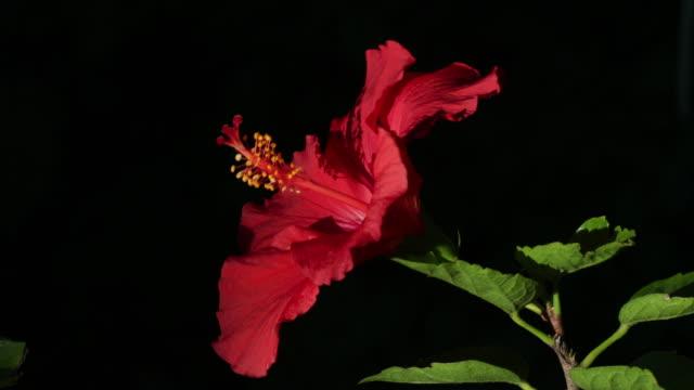 Hibiscus in bloom closeup