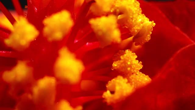 Hibiscus stuifmeel opkomende in time-lapse