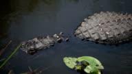 Hidding Alligators