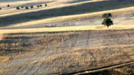 High Ange View Of Herding Sheeps In Autumn