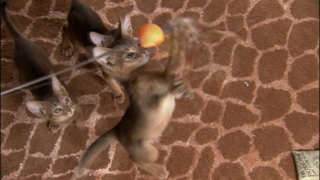High Angle hand-held - Abyssinian kittens play with a toy.