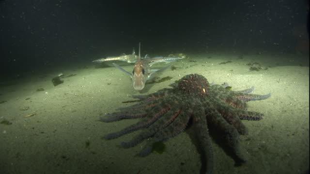 High Angle hand-held - Fish swim near a large starfish and crabs on the ocean floor. / Washington, USA
