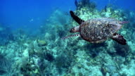 High angle medium shot tracking shot sea turtle swimming underwater