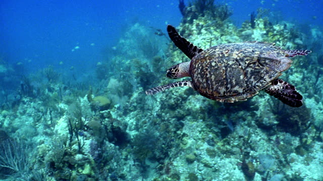 High angle medium shot tracking shot sea turtle swimming underwater