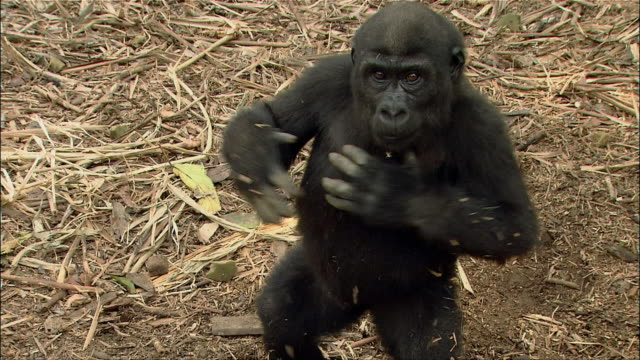 High angle medium shot young gorilla on dry, grassy ground beating chest and looking at camera / Cameroon
