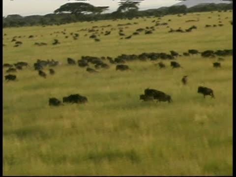 MS High angle view of Wildebeest herd running in Savannah grass, Serengeti, Tanzania
