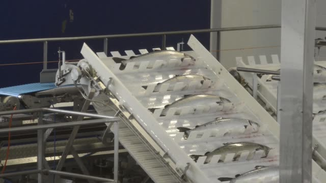 High angle views workers arrange fresh salmon as they pass along a conveyor belt at Salmar ASA's InnovaMar harvesting and processing facility on the...