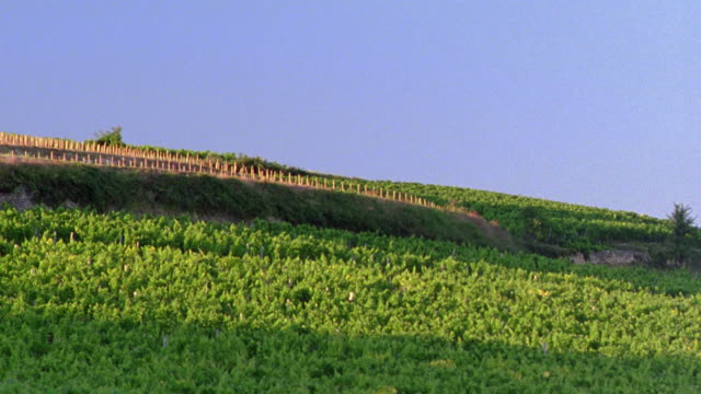 high angle PAN vineyard with empty field in background / Bordeaux, France