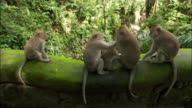 High angle wide angle shot of macaques sitting on bridge /zoom in monkey trying to wrestle dark-haired baby away from mother macaque / Ubud Monkey Forest Sanctuary / Bali, Indonesia