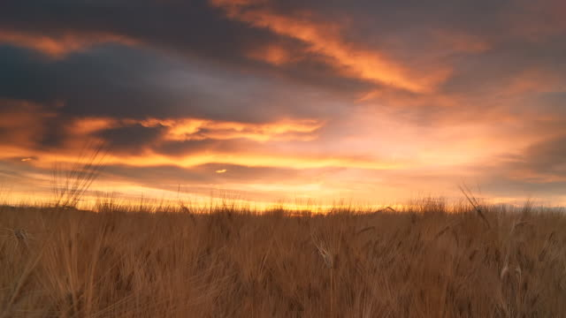 HD DOLLY: High Dynamic Shot Of Barley Field
