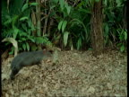 High speed - Agouti bounding through forest, South America