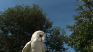 High speed Barn owl (Tyto alba) taking off