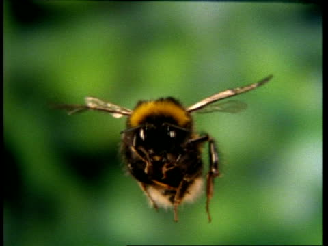 High Speed - CU Bumble bee in flight, to camera, mottled green background