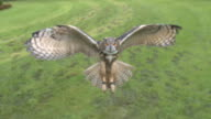 High Speed Eurasian Eagle Owl (Bubo bubo) flying to camera, England, UK.  Filmed at 1000fps on the Photron SA2 high definition high speed camera.