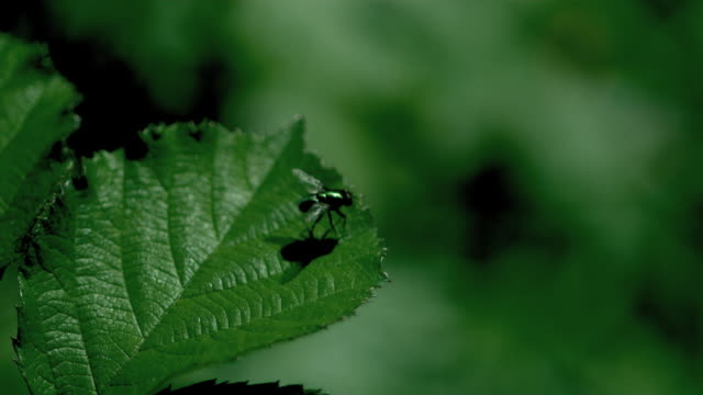 High speed Fly taking off from leaf