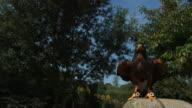 High speed Golden eagle (Aquila chrysaetos) taking off