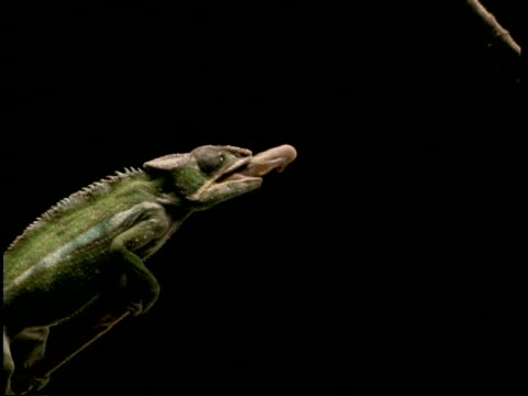 High Speed - MCU Chameleon catches fly with tongue, black background