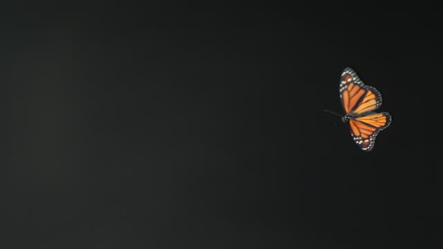 High Speed Monarch butterfly (Danaus plexippus) flying against black background
