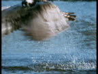 High Speed - CU Osprey (Pandion haliaetus) emerging from water with Trout, Scotland