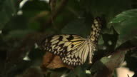 High speed Paper Kite butterfly (Idea leuconoe) takes off from leaf