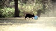High speed wide shot Boston Terrier chasing ball on grass/ Dallas, Texas