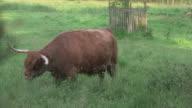 A highland cow (Bos taurus) grazes on long green grass on a summer evening, Scotland, UK.