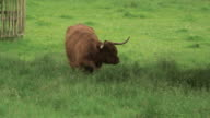 A highland cow (Bos taurus) in a green field stands up and defecates, Scotland, UK.