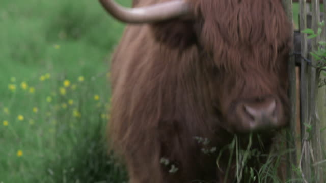 A highland cow (Bos taurus) scratches its face against a fence, Scotland, UK.