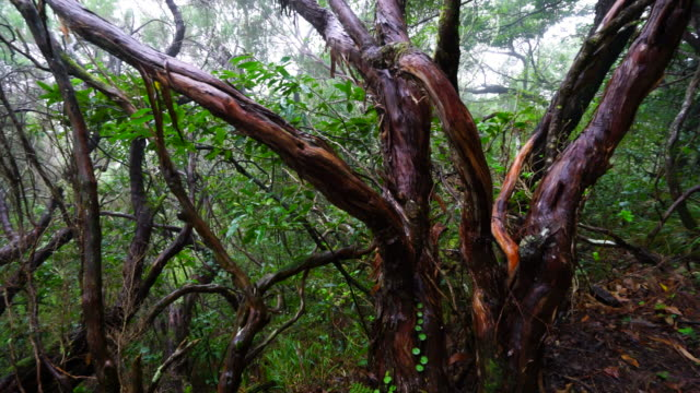 Hiking in a laurel forest in Madeira island